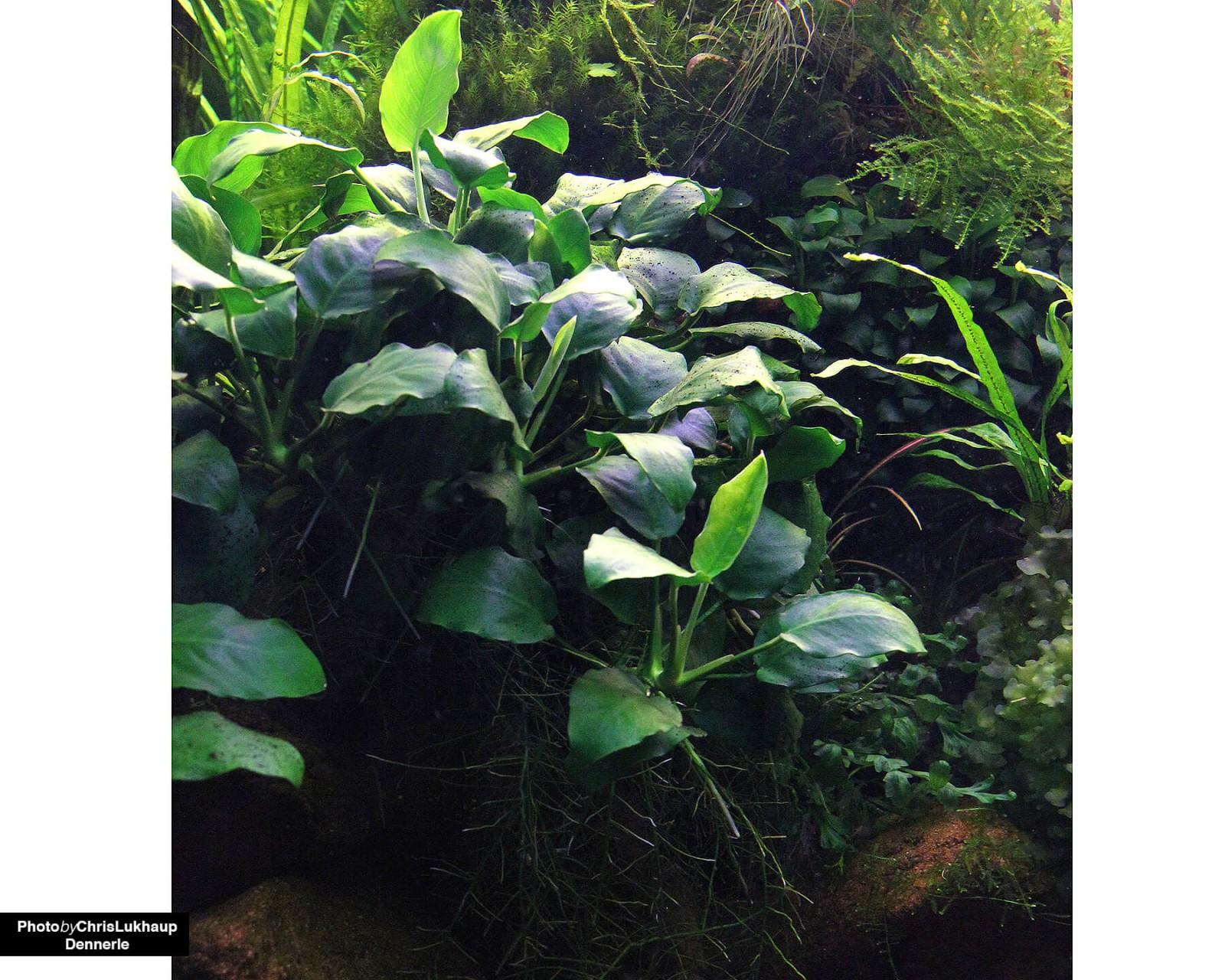 anubias pflanzen im aquarium terrarium arten pflege. Black Bedroom Furniture Sets. Home Design Ideas