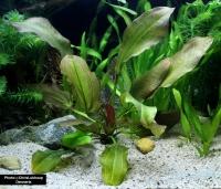 Echinodorus Dschungelstar 2 -