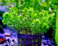 Amerikanische Wasserhecke - Didiplis diandra - Topf