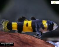 3 x Goldringelgrundel - Brachygobius xanthozona