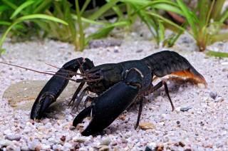 Black Scorpion Krebs - Cherax holthuisi