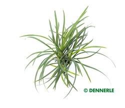 Zwergschlangenbart - Ophiopogon japonicus nana  - Dennerle Topf