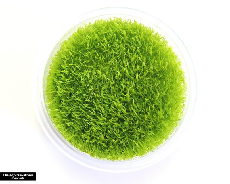 Utricularia_graminifolia_5