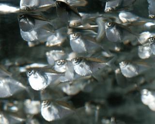 Platinbeilbauch - Thoracocharax stellatus