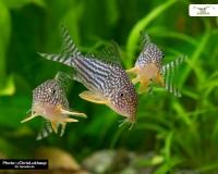 5x Rotflossenpanzerwels DNZ - Corydoras sterbai