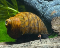 Bella Algenschnecke - Paludomus loricatus