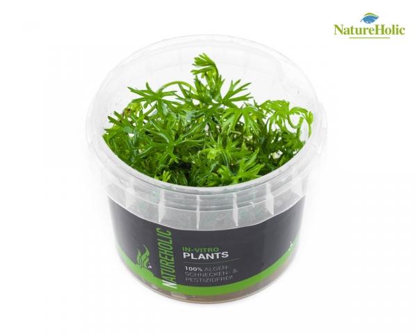 Ranunculus papulentus - NatureHolic InVitro