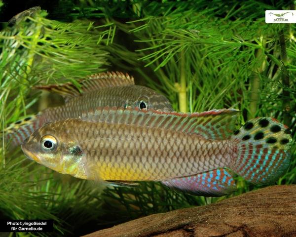 "2x Smaragdprachtbarsch - Pelvicachromis taeniatus ""Nigeria Red"" - Pärchen"