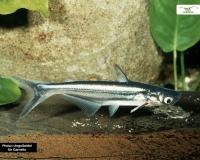 Haiwels - Pangasius sutchi - 5 cm (Für Großaquarien)