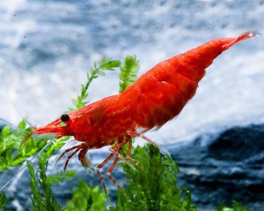 200x Red Sakura Garnele - Skyfish Garnelen - Mitimport
