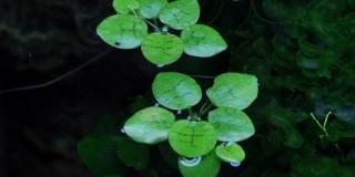 Südamerikanischer Froschbiss - Limnobium laevigatum - Tropica InVitro