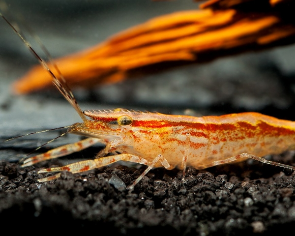 Red Stripes Großarmgarnele - Macrobrachium esculentum