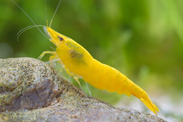 200x Yellow Fire Garnele - Skyfish Garnelen - Mitimport