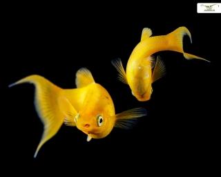 Gold Molly - Poecilia sphenops