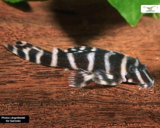 L316 - Jari-Zebrawels Hypancistrus sp. DNZ 4-6 cm