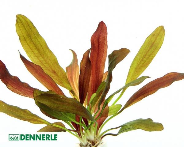 """Schwertpflanze """"Red Chamäleon"""" - Echinodorus """"Red Chamäleon"""" - Dennerle Topf"""