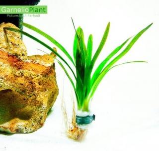 Pfleilkraut Species - Sagittaria Sab. Species