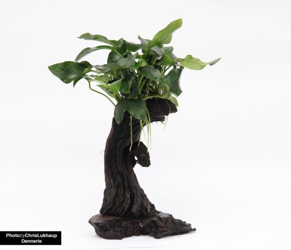 Urwaldbaum Mbuna - Klein mit Anubias nana - Dennerle