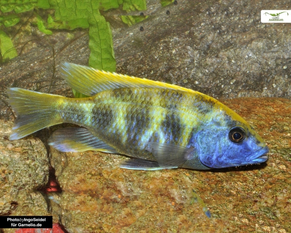 2x Giraffenbarsch - Nimbochromis venustus - DNZ 4cm - Pärchen