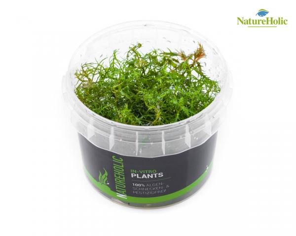 Hottonia palustris - NatureHolic InVitro