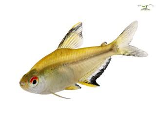 Zitronensalmler - Hyphessobrycon pulchripinnis - DNZ