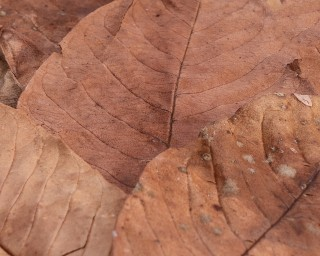 NatureHolic Guavenblätter - 10 stück - bis 7 cm