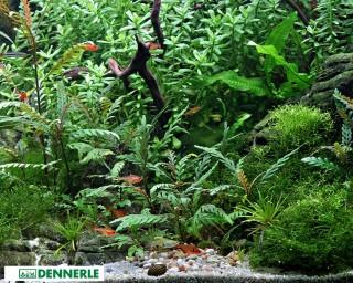 Fiederspaltiger Wasserfreund - Hygrophila pinnatifida - Dennerle Topf