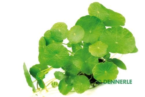 Hutpilzpflanze, amerik. Wassernabel, Hydrocotyle verticillata - Bund / Topf