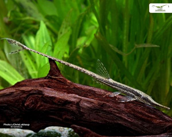 Amazonasschnabelwels -  Farlowella acus