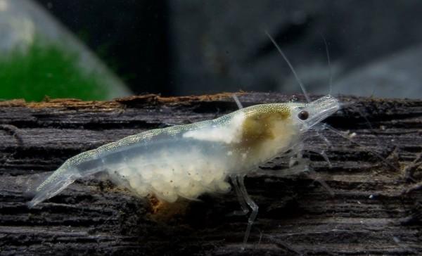 "White Pearl Garnele - Weißperlengarnele - Neocaridina palmata ""White"""