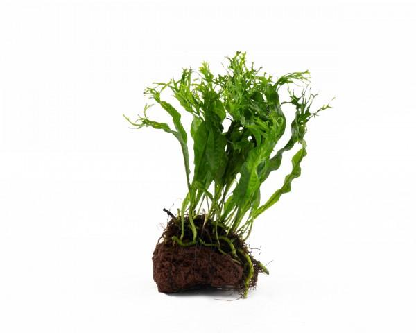 Javafarn - Microsorum Windelov - Natureholic Pflanze auf Lavastein