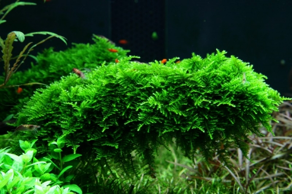 """Weihnachtsbaummoos - Vesicularia montagnei """"Christmas Moss"""" - Tropica Portion"""