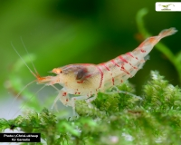 Rote Tigergarnele - Orange Eye - Caridina mariae