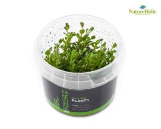 Rotala rotundifolia - NatureHolic InVitro