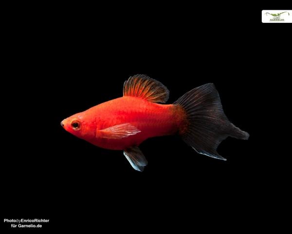 "Pinselplaty ""Wagtail"" - Xiphophorus maculatus"
