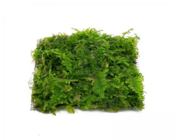 Triangel Moos Pad - Vesicularia filicinum - 8x8 cm