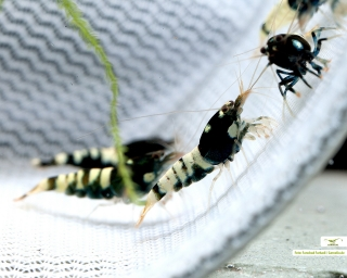 Schwarze Pinto Garnele - Shadow Garnele - Taiwan Bee - Caridina sp