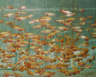Flamingosalmler - hemigrammus caudovittatus
