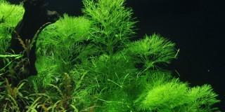 Riesen-Sumpffreund - Limnophila aquatica - Tropica Topf