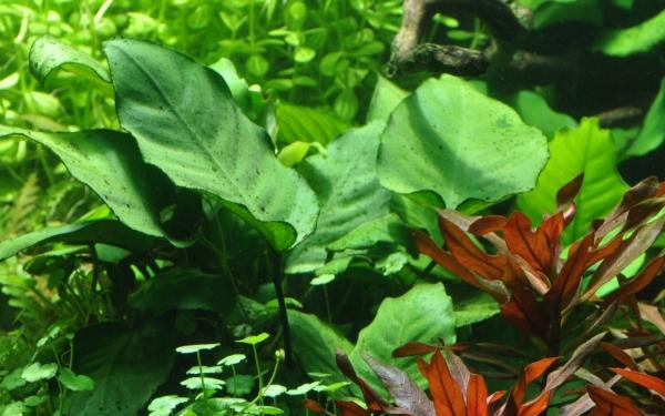 Anubias barteri sp. - Tropica Pflanze auf Wurzeln (XL)
