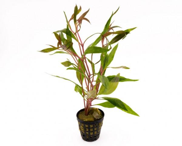 Papageienblatt breitblättrig - Alternanthera reineckii - NatureHolic Plants - Topf