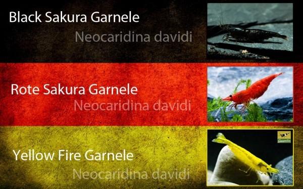 Deutscher Garnelenmix - Neocaridina davidi - 24st.