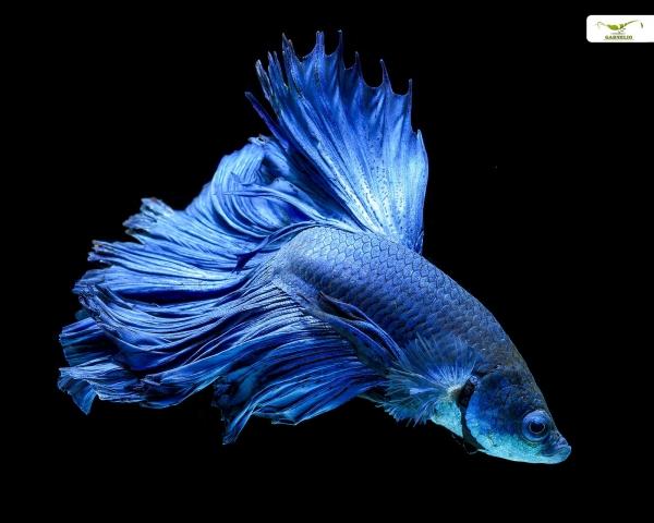 """Kampffisch männlich """"Blau"""" xl"""
