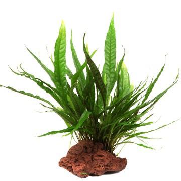 javafarn microsorum pteropus tropica pflanze auf lavastein bepflanzte deko. Black Bedroom Furniture Sets. Home Design Ideas