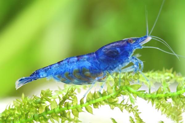 Blue Dream Garnele - Blue Velvet Garnele - Neocaridina davidi