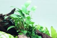 Efeublättriges Speerblatt - Anubias gracilis - Tropica Topf