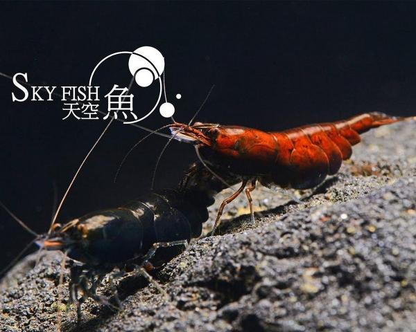 "Red Onyx Garnele - Neocaridina davidi ""Red Onyx"""