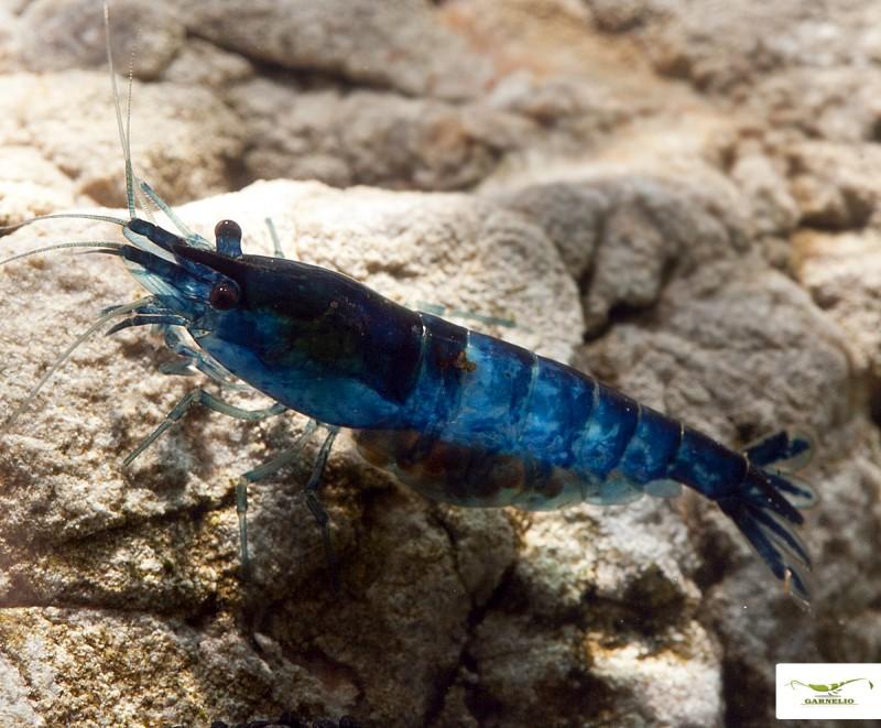bluedreamgarnele
