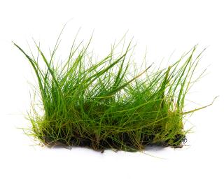 Zwergnadelsimse - Pflanzen Matte - Eleocharis parvula - 4x13 cm