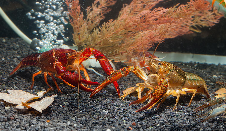 Roter Sumpfkrebs - Procambarus clarkii